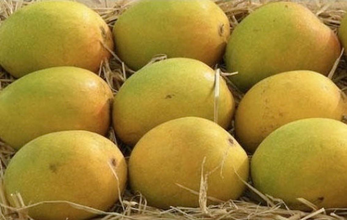 Alfanso mangoes from Rathnagiri