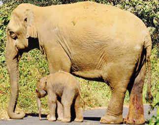 Wild Elephant  gave birth to a calf