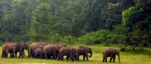 Thekkady herds of elephants