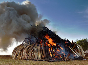 100 tonnes of illegal ivory burned