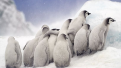 Nadia Aly's photograph of penguin chicks grouped together is shortlisted in the Open, Natural World & Wildlife category.