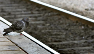 Pigeon at Railway station