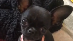 Dolly the Chihuahua