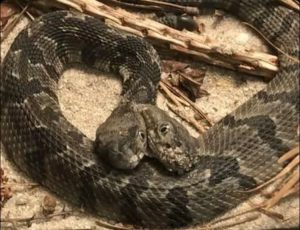 Two-headed rattlesnake