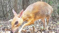 Rare deer discovered in Vietnam