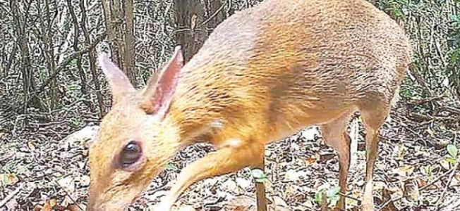 Rare deer discovered in Vietnam