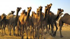 17 camels