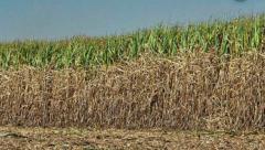 Sugarcane in Amazon