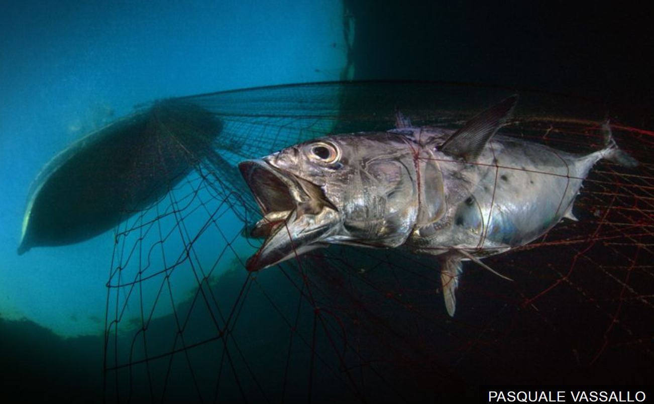 Italian Pasquale Vassallo won Marine Conservation Photographer of the Year with Last Dawn Last Gasp showing a tuna as it is hauled up towards a boat off the coast of Naples.