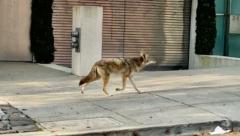 Coytoe roaming round the San Francisco streets
