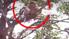 Monkey on the top of the tree with three Covid-19 blood samples