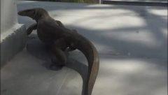 Monitor Lizard visiting a house at Delhi