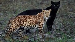 Black Panther Sayya and Lepordress Cleopatra courting