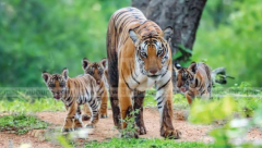 Tigers at Wayanad wild life sanctuary