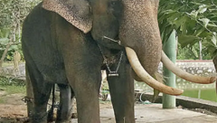 Elephant Vallabhan in pain