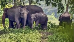 Herd of wild elephnats tramples an 8-year-old girl.