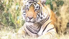 Tiger kills 15-year-old girl