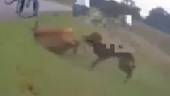 Alfie the dog fatallly attacking a Deer