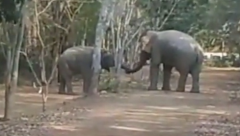 Two jumbos make up after week-long standoff by shaking trunks