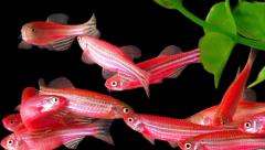 Zebrafish experiments