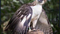 Phillipine Eagle