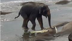 Wild elephants rescued from sea